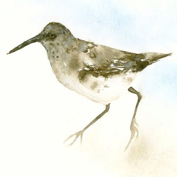 Sandpiper Artwork by Catherina Turk